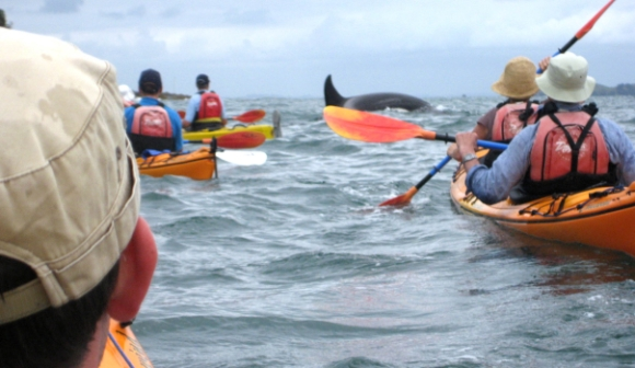 Kayak Waiheke with Orca